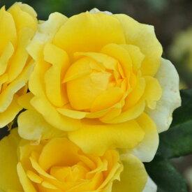 バラ 苗 【ゴールドバニー (FL) 中輪 四季咲き】 2年生 接ぎ木大苗 薔薇 ローズ バラ の 苗