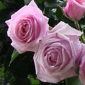 バラ 苗 【つるバラ 羽衣 (CL) 大輪 四季咲き】 2年生 接ぎ木大苗 アーチ向け 薔薇 ローズ バラ の 苗