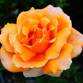 バラ 苗 【ジャストジョーイ (HT) 大輪 四季咲き】 2年生 接ぎ木大苗 薔薇 ローズ バラ の 苗