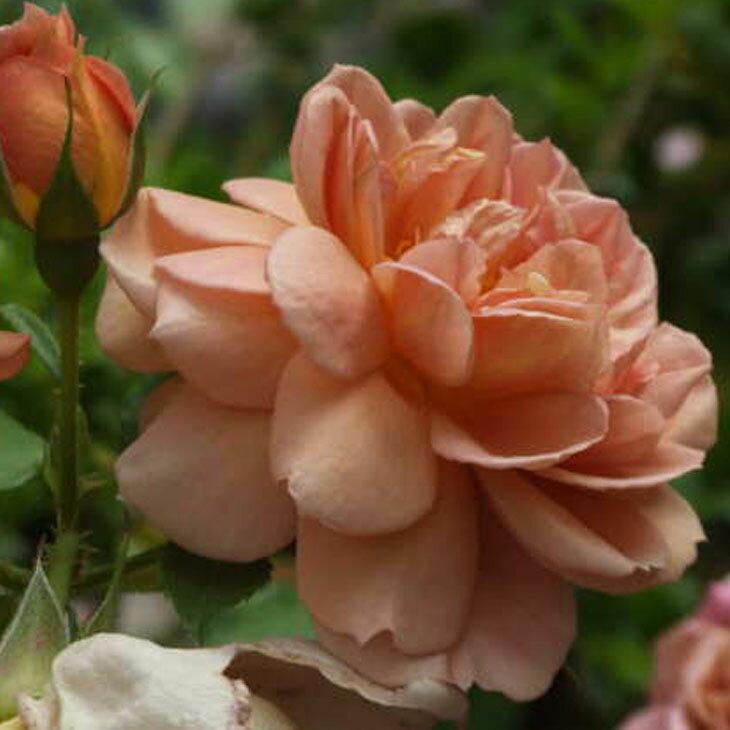 バラ 苗 【カフェ (FL) 中輪 四季咲き】 2年生 接ぎ木大苗 薔薇 ローズ バラ の 苗