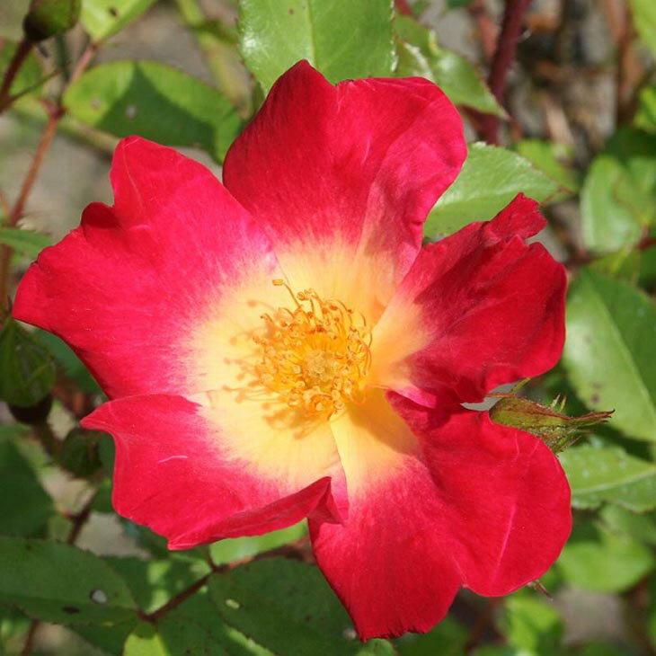 バラ 苗 【つるバラ コクテール (カクテル) (CL) 返り咲き】 1年生 接ぎ木苗 3.5号 (10.5cm) ポット苗 アーチ向け 薔薇 ローズ バラ の 苗