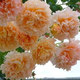 バラ 苗 【つるバラ ポルカ (CL) 大輪 返り咲き】 2年生 接ぎ木大苗 アーチ向け 薔薇 ローズ バラ の 苗