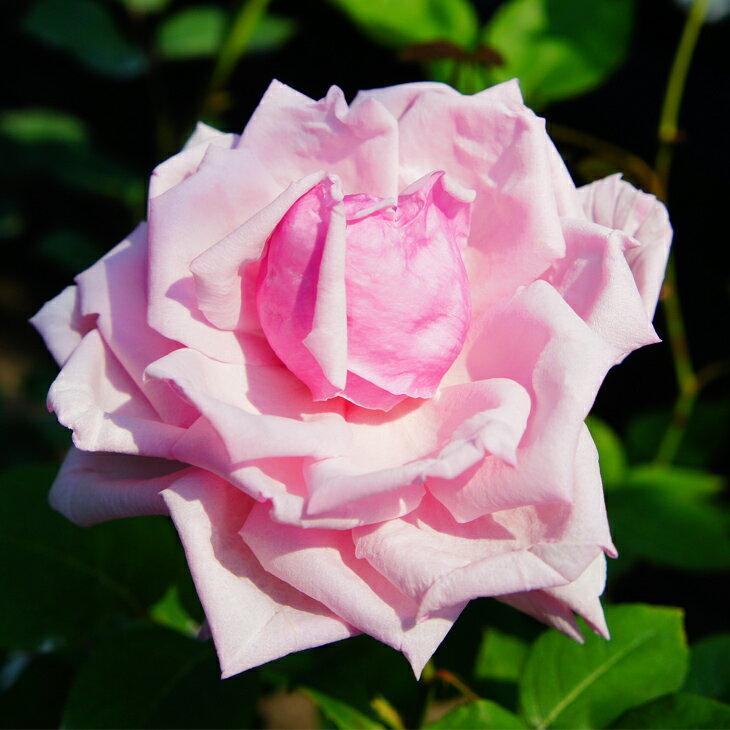 バラ 苗 【ラフランス (HT) 大輪 四季咲き】 2年生 接ぎ木大苗 薔薇 ローズ バラ の 苗