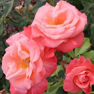 ■2株購入で有機液肥×1本付き■ バラ 苗 【つるバラ リバプールエコー (CL) 中輪 四季咲き】 2年生 接ぎ木大苗 薔薇 ローズ バラ の 苗