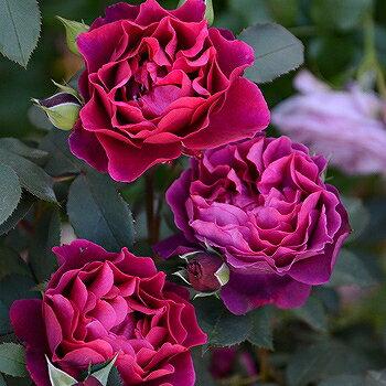バラ 苗 ロサオリエンティス 【オデュッセイア (Rosa OrienTis) 中大輪 四季咲き】 2年生 接ぎ木大苗 スリット 鉢植え (2年間植え替え不要) 薔薇
