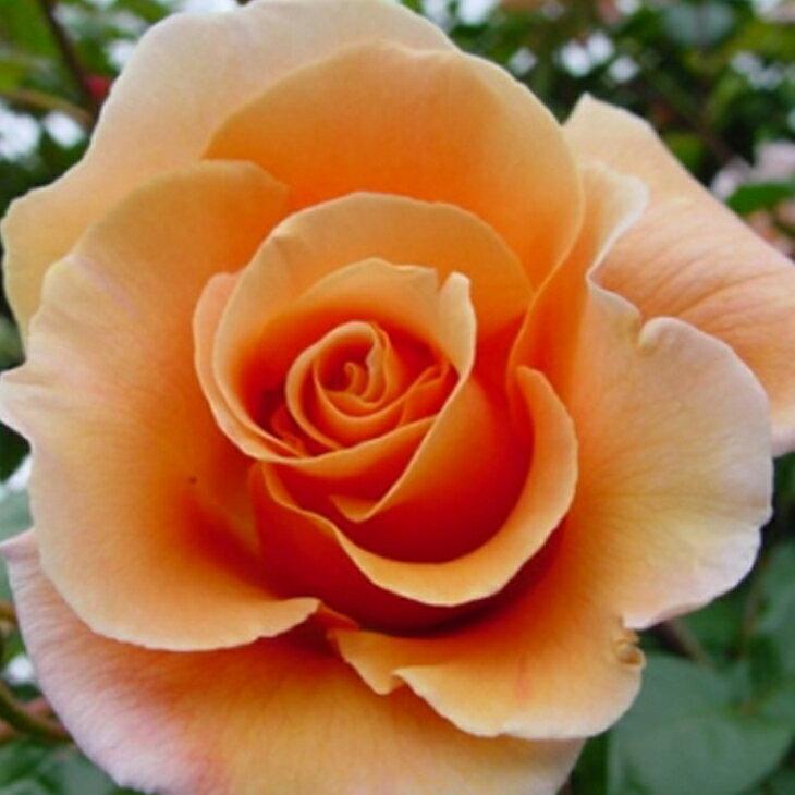 ■エントリーでポイント5倍■ バラ 苗 【ロイヤルサンセット (CL) つるバラ 中輪 返り咲き】 2年生 接ぎ木大苗 スリット 鉢植え (2年間植え替え不要) 薔薇 ローズ バラ の 苗