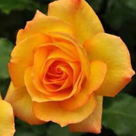 バラ 苗 【つるバラ サハラ'98 (CL) 返り咲き】 2年生 接ぎ木大苗 アーチ向け 薔薇 ローズ バラ の 苗