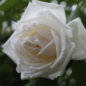 バラ 苗 【つるバラ 新雪 (CL) 四季咲き】 2年生 接ぎ木大苗 アーチ向け 薔薇 ローズ バラ の 苗