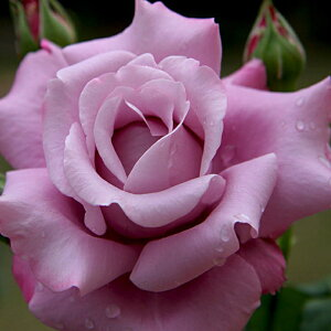 バラ 苗 【ステンレススチール (HT) 大輪 四季咲き】 2年生 接ぎ木大苗 薔薇 ローズ バラ の 苗