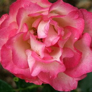バラ 苗 【つるバラ ストロベリーアイス (CL) 四季咲き】 2年生 接ぎ木大苗 アーチ向け 薔薇 ローズ バラ の 苗