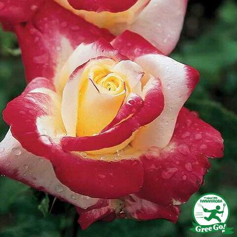 バラ 苗 【ダブルデライト (CL) 】 1年生 接ぎ木苗 3.5号 (10.5cm) ポット苗 薔薇 ローズ バラ の 苗