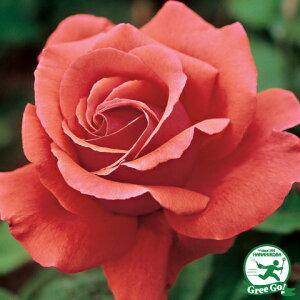 バラ 苗 【フレグランドクラウド (HT) 】 2年生 接ぎ木大苗 薔薇 ローズ バラ の 苗