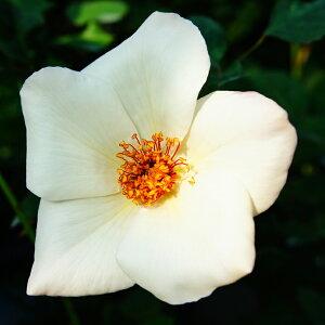 ◆送料無料◆ バラ 苗 【ホワイトウィングス (HT) 大輪 四季咲き】 2年生 接ぎ木大苗 (ニーム小袋付き) 薔薇 ローズ バラ の 苗 ※北海道・沖縄は送料無料適用外です。
