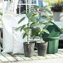アボカド 苗 【2品種選べる アボカド栽培セット】 2年生接ぎ木苗×2品種 (専用土・肥料とスリット鉢2個付き) 果樹 …