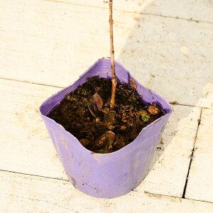 フェイジョア苗【アポロ】挿し木約0.3mポット苗フィジョアパイナップルグアバ珍果苗果樹果樹苗