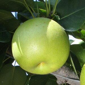 梨 苗木 【二十世紀梨】 2年生 接ぎ木 大苗 なし 苗 果樹 果樹苗