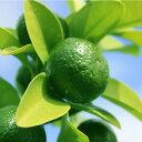 ◆送料無料◆ シークワーサー 苗木 【シークヮーサー】 1年生 接ぎ木 ポット苗 シークヮーサー 苗 常緑 果樹 柑橘 香…