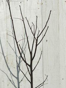 ◆送料無料◆ 山椒 苗 【スーパーストロング トゲなし実サンショウ 朝倉山椒 (あさくらさんしょう)】 3年生 接ぎ木 (ニーム小袋付き) 苗木 果樹 果樹苗 根腐れ抵抗性台接ぎ木苗 ※北海