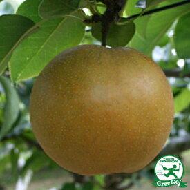 梨 苗木 【ナルミ】 1年生 接ぎ木苗 なし 苗 新品種 絶品フルーツ 果樹 果樹苗