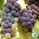 ぶどう 苗 栽培セット 【白ワイン用品種 ピノグリ】 1年生 ウイルスフリー 接ぎ木苗 鉢植え 栽培セット (培養土・化…