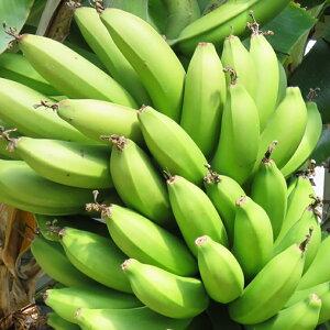 バナナ 苗 【三尺バナナ】 ポット苗 バナナの木 熱帯植物 トロピカルフルーツ 常緑 苗木 果樹 果樹苗