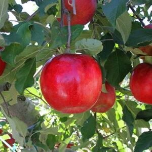 リンゴ 【紅玉(こうぎょく)】 1年生 接木 ポット苗 林檎 苗 果樹 果樹苗