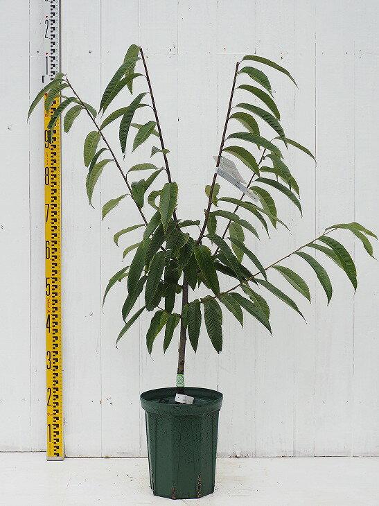 栗 苗木 【ぽろたん】 2年生 接ぎ木 スリット鉢植え くり 苗 果樹 果樹苗