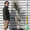 【オリーブの木】ネバディエロブロンコ25年生苗ナーセリーポット植え(現品発送)【極太 原木オリーブ】【北海道、沖縄、離島不可】 【時間帯指定不可】