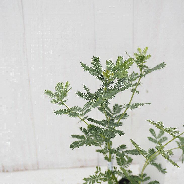ミモザ 苗 【ゴールデン ミモザ】 0.3m ポット苗 苗木 庭木 シンボルツリー 目隠し 寄せ植え
