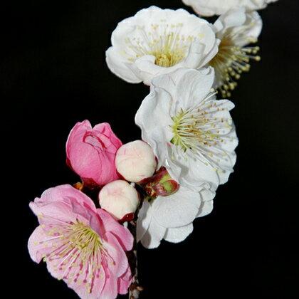 花梅 苗 【思いのまま】 1年生 約0.9m ポット苗 はなうめ 苗木 庭木 落葉樹 シンボルツリー