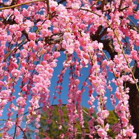 ◆送料無料◆ 花梅 苗 【ピンク花 しだれ梅】 1年生 約0.7m ポット苗 はなうめ 苗木 庭木 落葉樹 シンボルツリー ※北海道・沖縄は送料無料適用外です。
