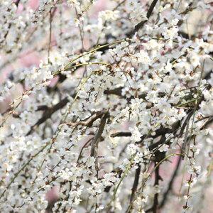 花梅 苗 【白花 しだれ梅】 1年生 約0.9m ポット苗 はなうめ 苗木 庭木 落葉樹 シンボルツリー