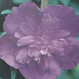 ムクゲ 苗 【紫八重】 5号ポット苗 木槿 苗木 庭木 落葉樹 シンボルツリー
