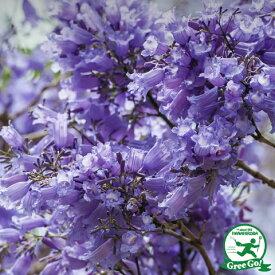 ジャカランタ【 ブルーブロッサムビューイング】 ポット苗 庭木 落葉樹 紅葉 キリモドキ(桐擬き) 紫雲木