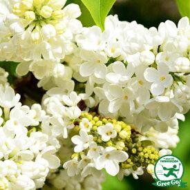 ◆送料無料◆ ライラック 苗 【プリムローズ】 ポット苗 (ニーム小袋付き) リラの木 ※北海道・沖縄は送料無料適用外です。