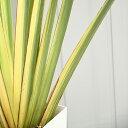 ニューサイラン 苗 【斑入り バリエガータ】 約1.2m 鉢植え 南国風 庭 木 苗木 観葉植物 植木 庭木 シンボルツリー 常…