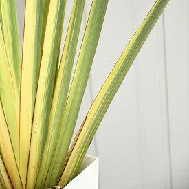 ニューサイラン 苗 【斑入り バリエガータ】 約1.2m 鉢植え 南国風 庭 木 苗木 観葉植物 植木 庭木 シンボルツリー 常緑多年草 低木