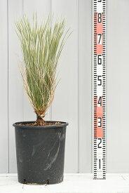 耐寒性 ユッカの木 苗 【エラータ】 約0.6m プラスチック鉢植え 南国風 庭 木 苗木 観葉植物 植木 庭木 シンボルツリー 常緑樹 高木