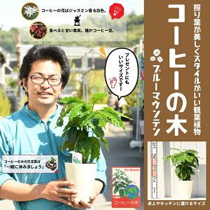 コーヒーの木 苗 【ブルーマウンテン】 2年生 実生 プラスチック鉢植え コーヒーノキ 苗 熱帯果樹 観葉植物 coffee インテリア