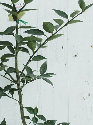スダチ苗木【種なしスダチ】2年生接ぎ木スリット鉢植え苗常緑果樹柑橘香酸柑橘柑橘苗木果樹苗木