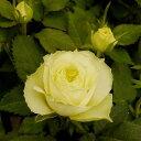 ミニバラペパーミントコルダーナ クリーム コルダナ 四季咲き
