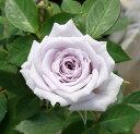 鉢花 芳香性ミニバラ ウインターマジック 3,5号ポット 花色 青 紫 香り 青いバラ 四季咲き