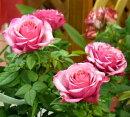 【】【ミニバラ】タマラコルダーナ3〜3,5号ポット【バラ苗】【薔薇】