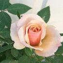 ☆【D】【ミニバラ】パトリシア・コルダーナ3〜3.5号ポット【バラ苗】【薔薇】