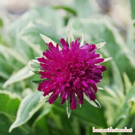 クナウティア 斑入り サンダー&ライトニング 3号ポット苗イングリッシュガーデン カラーリーフ 宿根草 珍しい ピンクガーデン 丈夫
