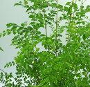 シマトネリコ3〜3.5号ポット【寄せ植え】【新生活】【観葉】【インテリアグリーン】【庭木】
