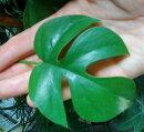 【観葉植物】モンステラミニマ(ラフィドフォラ)3,5号プラ鉢