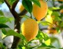 果樹苗 レモン選抜とげなしリスボン4号ロングポット接ぎ木2年生苗