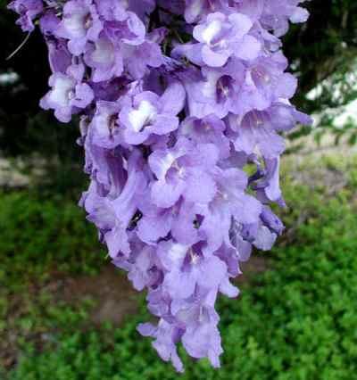 観葉植物ジャカランダ ミモシフォリア3.5号ポット苗花木類