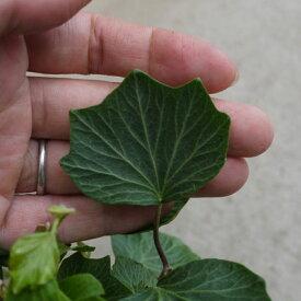 観葉植物 アイビー ヘデラ クックルシェル  3号ポット 宿根草 多年草 花苗 ガーデニング 寄せ植え